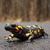 Emerging pathogen found in salamanders in the EU