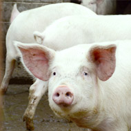 New pig virus could be a threat to humans