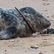 Young seal found with air filter around his neck