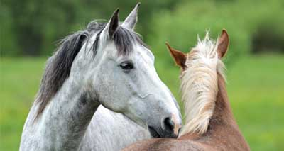 Promising new live vaccine for equine influenza