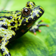 Calls to ban trade in amphibians from Asia