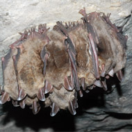 Bat lifecycle disrupted by rising temperatures