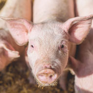 Living close to livestock reduces allergy risk