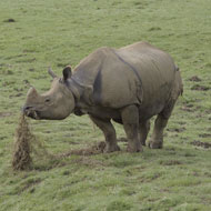 Vets carry out rare ultrasound on rhino