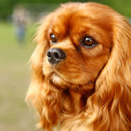 New heart scheme trialled for Cavaliers