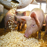 Artists explore how pigs like to play