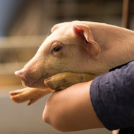 Gene-edited pigs are resistant to PRRS, study finds