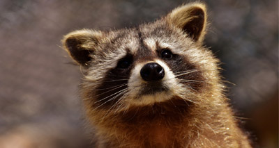 Twitter gripped by adventurous racoon