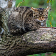 Scottish wildcat petition garners thousands of signatures