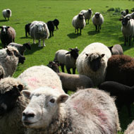 Study to 'underpin direction of sheep genetics'