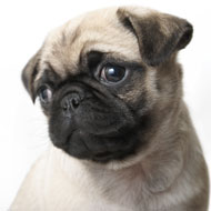 New pug film could prompt 'pester power'