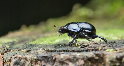 Cattle pesticides killing off dung beetles - study