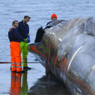 Blue whale butchered in Iceland