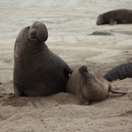 Deep-diving seals protected by anti-inflammatory serum