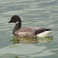 Waterfowl sites in Essex given greater protection