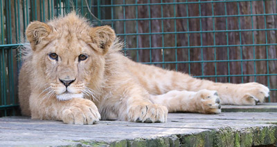 Abused lion cub gets forever home at sanctuary