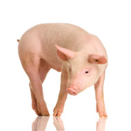 Defra clarifies position on pig tail docking