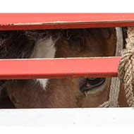 Calls to end long distance journeys to slaughter in Europe