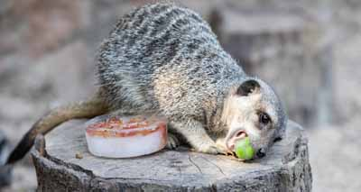 Zoo animals enjoy summer treats to stay cool