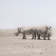 IVF could bring back northern white rhinos