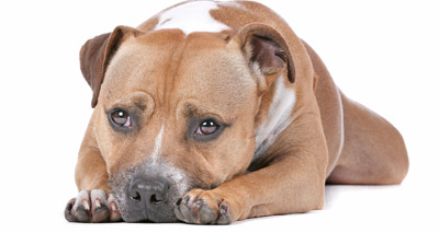 Staffies 'will not be added to banned breed list'