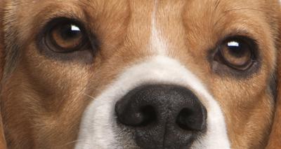 New DNA testing scheme for beagles