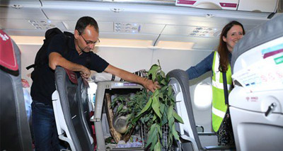 Koala joins passengers aboard flight to Scotland