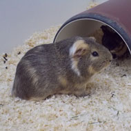Fresh insights into guinea pig social behaviour