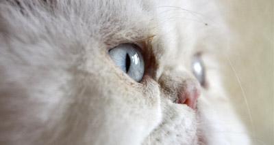 BVA puts the spotlight on brachycephalic cats