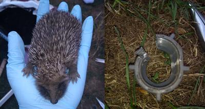 Litter plea as hedgehog gets stuck in plastic ring