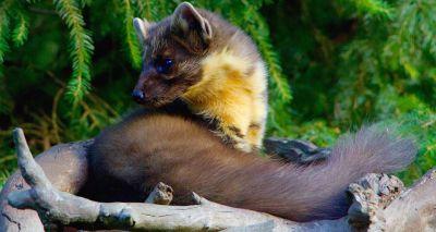 Rare pine marten spotted in Kielder Forest