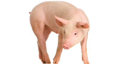 Tail docking in pigs causes long-term pain