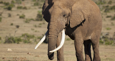 'Zombie' gene may protect elephants from cancer