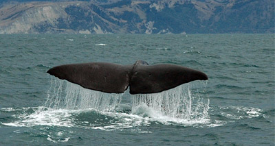 Mass whale stranding due to environmental factors