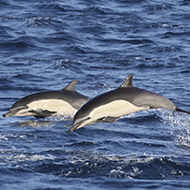 Dolphin appears to be communicating with porpoises - study