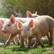 African swine fever reaches China