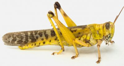 Locust study aims to reveal insights into hearing loss