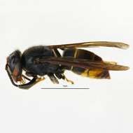 Two further Asian hornet sightings