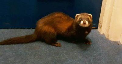 Polecat makes surprise visit to council offices