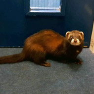 Polecat makes surprise visit to council offices