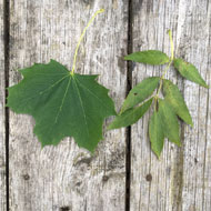 'Perfect storm' increases risk of atypical myopathy