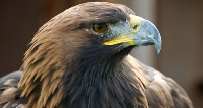 Scientists unravel golden eagle genome