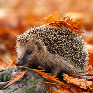 Study sheds light on decline of Britain's hedgehogs