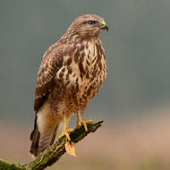 RSPB calls for tougher action on raptor killings