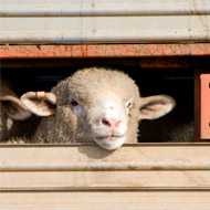 Bluetongue confirmed in four imported sheep