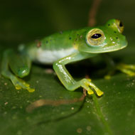 Frogs may be able to co-exist with chytrid fungus - study