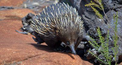 Australian vets treat anteater for ant allergy