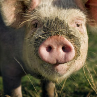 France steps up African Swine Fever controls