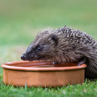 Hedgehog sightings mapped by county