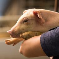 Scientists develop PRRS-resistant pigs